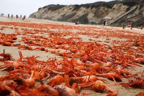 Hàng triệu con cua đỏ lại dạt vào bờ biển nước Mỹ