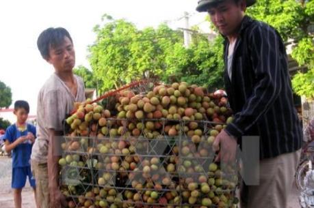 Vải thiều tươi qua Cửa khẩu quốc tế Lào Cai giảm một nửa