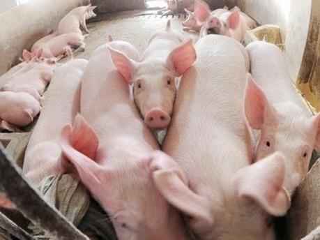 Xuất khẩu lợn sống qua cửa khẩu phụ sẽ gặp khó khăn