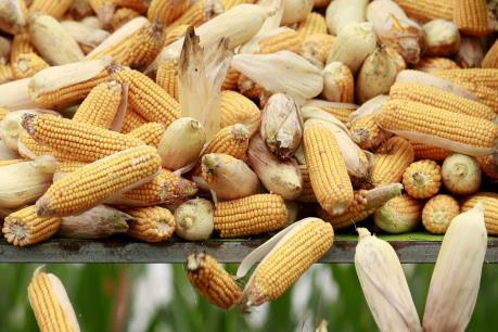Khu vực Mỹ Latinh duy trì sản lượng lương thực ổn định