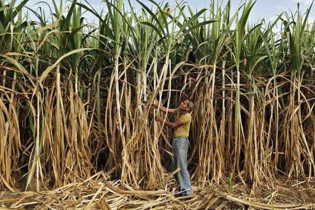 Thời tiết khắc nghiệt ảnh hưởng đến ngành mía đường Cuba