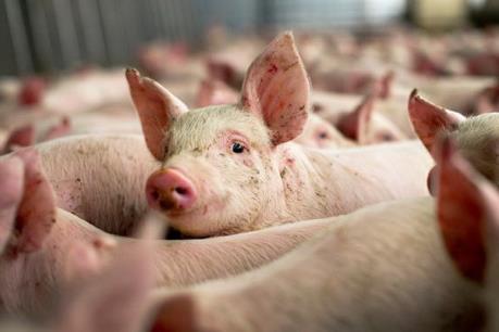 Lời cảnh báo cho doanh nghiệp về rủi ro khi xuất khẩu lợn sang Trung Quốc