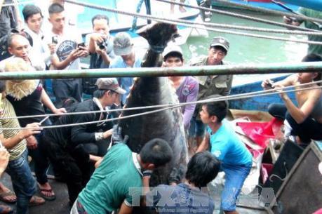 Ngư dân Khánh Hoà bắt được cá ngừ vây xanh quý hiếm 307 kg