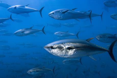 Indonesia đánh bắt cá ngừ theo hạn ngạch