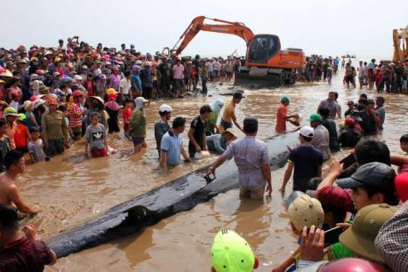 Giải cứu cá voi 15 tấn trôi dạt vào bờ biển Nghệ An