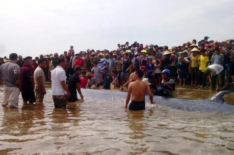Giải cứu thành công cá voi nặng 15 tấn dạt vào bờ biển Nghệ An