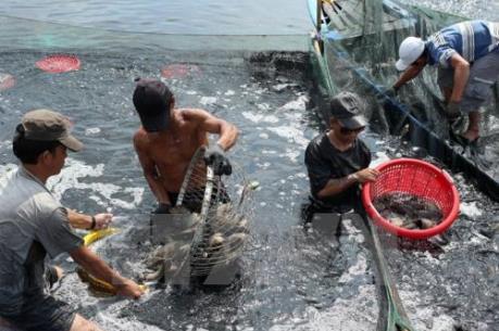 Nuôi trồng thủy sản tại Đồng bằng sông Cửu Long gặp khó vì ngập mặn