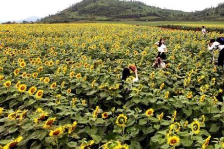 Nghệ An sẽ tổ chức Ngày hội hoa hướng dương