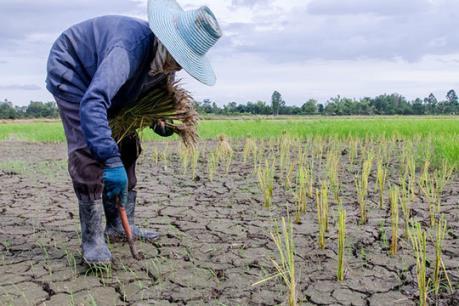 Sản lượng gạo toàn cầu vẫn giảm do hiện tượng El Nino