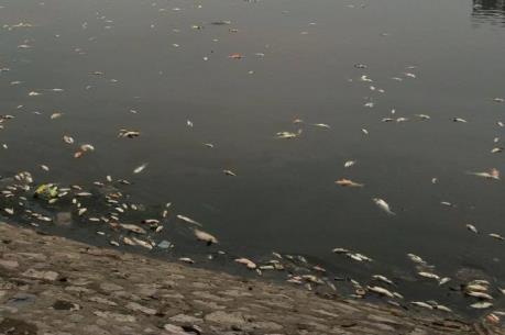 Hà Nội: Cá chết hàng loạt tại hồ Hoàng Cầu sau cơn mưa lớn