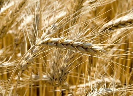 Nga vượt Mỹ và Canada trở thành quốc gia hàng đầu xuất khẩu lúa mì