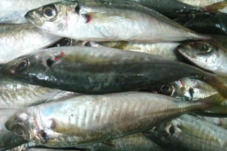 Buộc tiêu hủy 30 tấn cá nục có chất cực độc