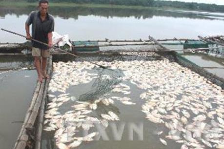 Thực hư việc hàng loạt cá chết ở Lý Sơn do bị đầu độc