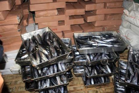 Quảng Trị niêm phong 25 tấn cá nục bị nhiễm chất Phenol