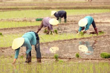 5 người bị sét đánh thương vong khi đang gặt lúa