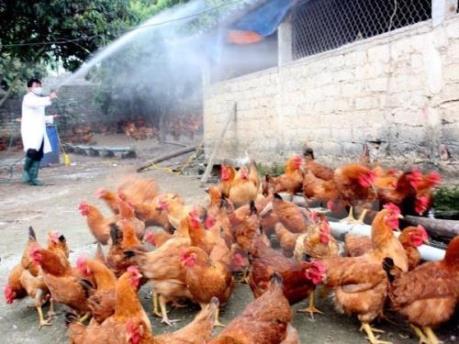 Cơ bản khống chế được dịch bệnh gia súc, gia cầm trên cả nước