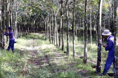 """Nông dân Tây Ninh """"chật vật"""" với cây cao su"""