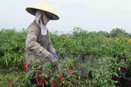 Cơ hội cho doanh nghiệp Việt Nam xuất khẩu ớt sang Malaysia
