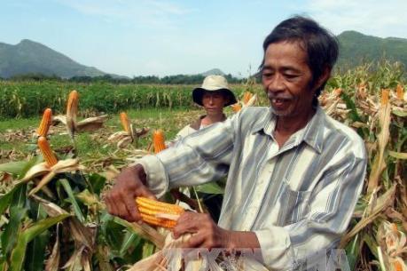 Liên kết ứng dụng công nghệ mới vào sản xuất ngô
