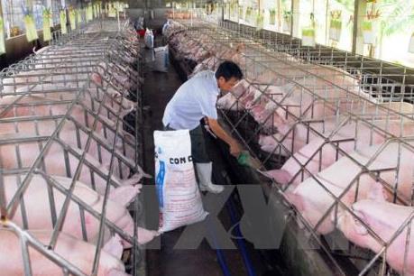 JICA giúp Hòa Bình xây dựng thương hiệu lợn bản địa