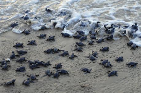 Colombia thả hàng trăm rùa biển về môi trường tự nhiên