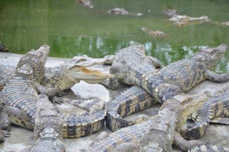 Còn hàng nghìn con cá sấu không có đầu ra