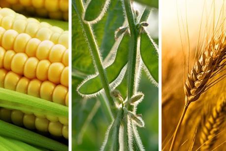 Giá ngô, lúa mỳ và đậu tương tuần qua cùng giảm