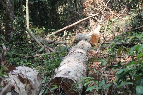 Nhiều vạt rừng nguyên sinh tại Đắk Nông đang bị tàn phá