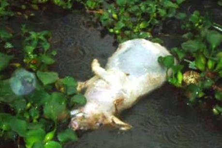 Phát hiện hàng trăm xác heo chết tại khu vực thượng nguồn sông Sài Gòn