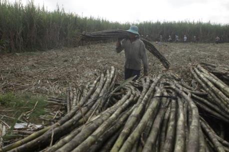 Tây Ninh rút ngắn thời gian thu hoạch mía để giảm thiệt hại cho nông dân