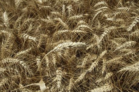 Ngành lúa mì nước Anh hưởng lợi từ Brexit