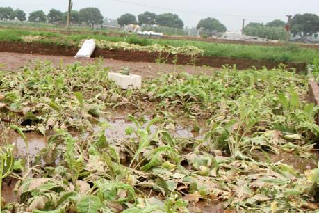 Ảnh hưởng của bão số 1: Hà Nội khắc phục gần 6.400 ha lúa và rau màu bị ngập úng