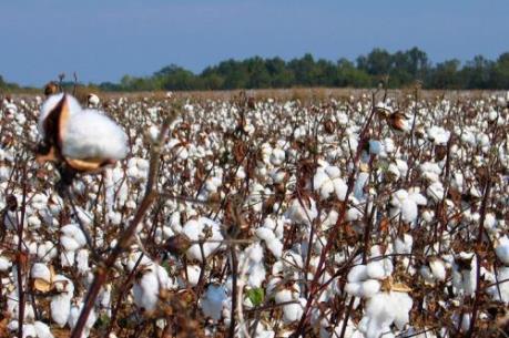 Tập đoàn giống cây trồng lớn nhất thế giới Monsanto gặp khó tại Ấn Độ