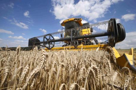 Pháp: Xuất khẩu lúa mỳ có thể giảm 60% trong niên vụ 2016-2017