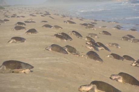 """Hàng nghìn rùa Golfinas """"đổ bộ"""" vào bờ biển của Mexico"""