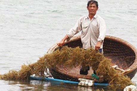 Triển vọng phát triển ngành rong biển Việt Nam