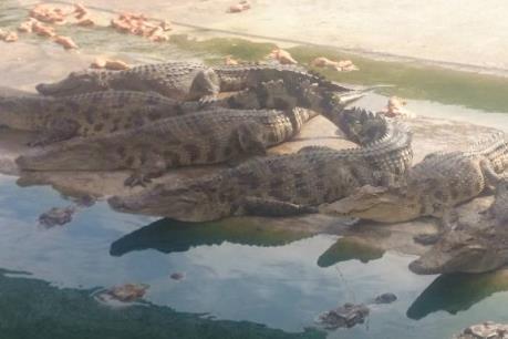 Cá sấu rớt giá, người nuôi thua lỗ nặng