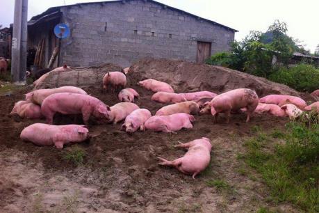 Hưng Yên tiêu hủy hơn 5 tạ thịt lợn chết thối tại một lò mổ