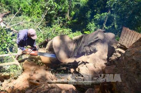 Phản hồi thông tin của TTXVN: Điện Biên xử lý nghiêm trường hợp khai thác rừng trái phép