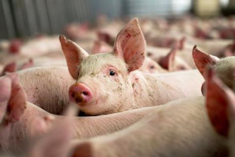 Nga có thể bán thịt lợn cho Việt Nam từ năm 2017
