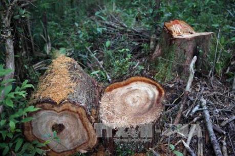Vụ phá rừng pơ mu ở Quảng Nam: 14 đối tượng đã ra đầu thú