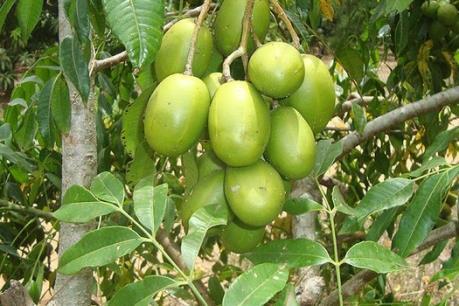 Thu nhập tiền tỷ từ cây cóc Thái ở Thanh Hà, Hải Dương