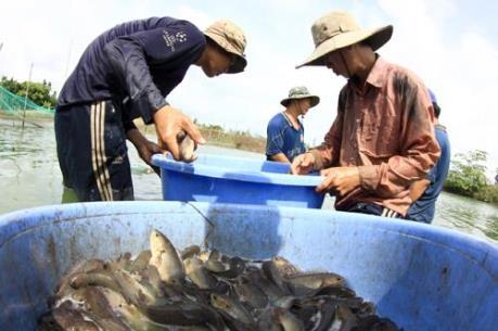 Long An phản hồi thông tin về việc sử dụng phẩm màu cho cá trê vàng