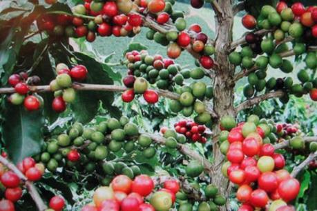 """Rộ mùa thu hoạch, cà phê Đăk Hà """"đợi"""" nhân công"""