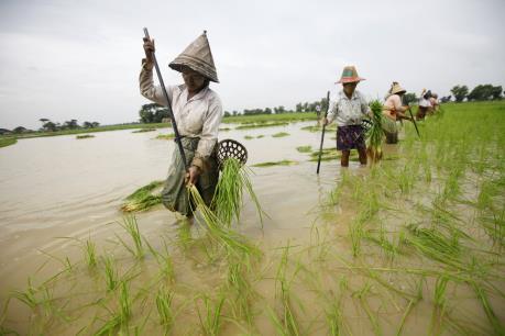 Myanmar tìm kiếm các thị trường mới cho xuất khẩu gạo
