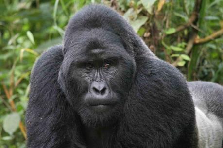 Loài khỉ đột miền Đông bên bờ vực tuyệt chủng