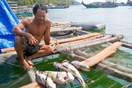 Quảng Ngãi xuất hiện cá bớp nuôi lồng chết không rõ nguyên nhân