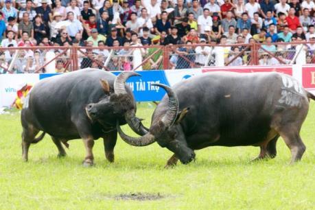 Lễ hội chọi trâu Đồ Sơn 2016: Nhiều kháp đấu hay