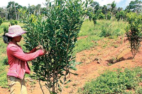 Nhiều diện tích trồng mắc ca ở Lâm Đồng không cho quả vì giống