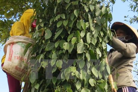 Hồ tiêu ở Đắk Lắk rụng quả bất thường vì phân bón rởm?
